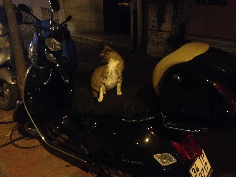 laia_istanbul_cat